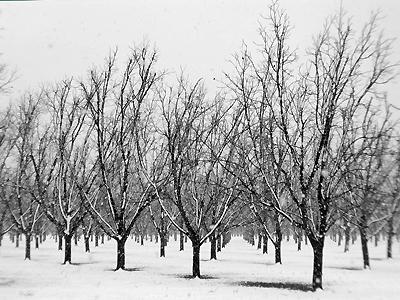 Pecans in Snow